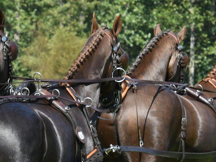 Driving horses team Koos de Ronde NED